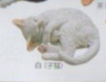 ■ネコマグネットXストラップ■単品 白子猫マグネット