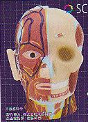 ◇人体模型■単品 彩色 頭部構造模型