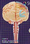 ◇人体模型■単品 彩色 脳の構造模型